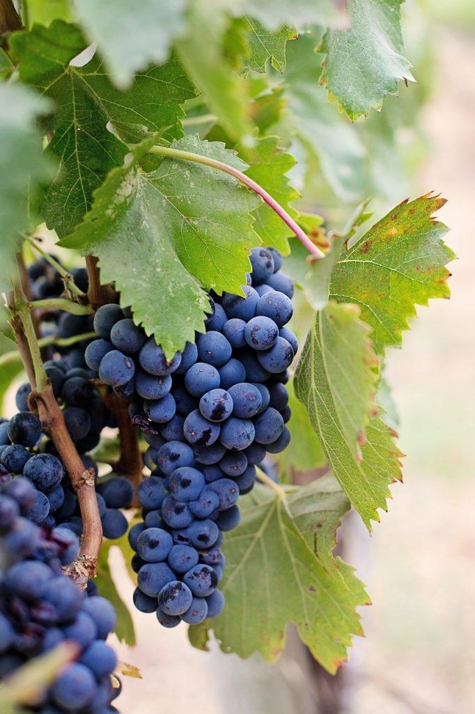 raisin Château Réal Martin